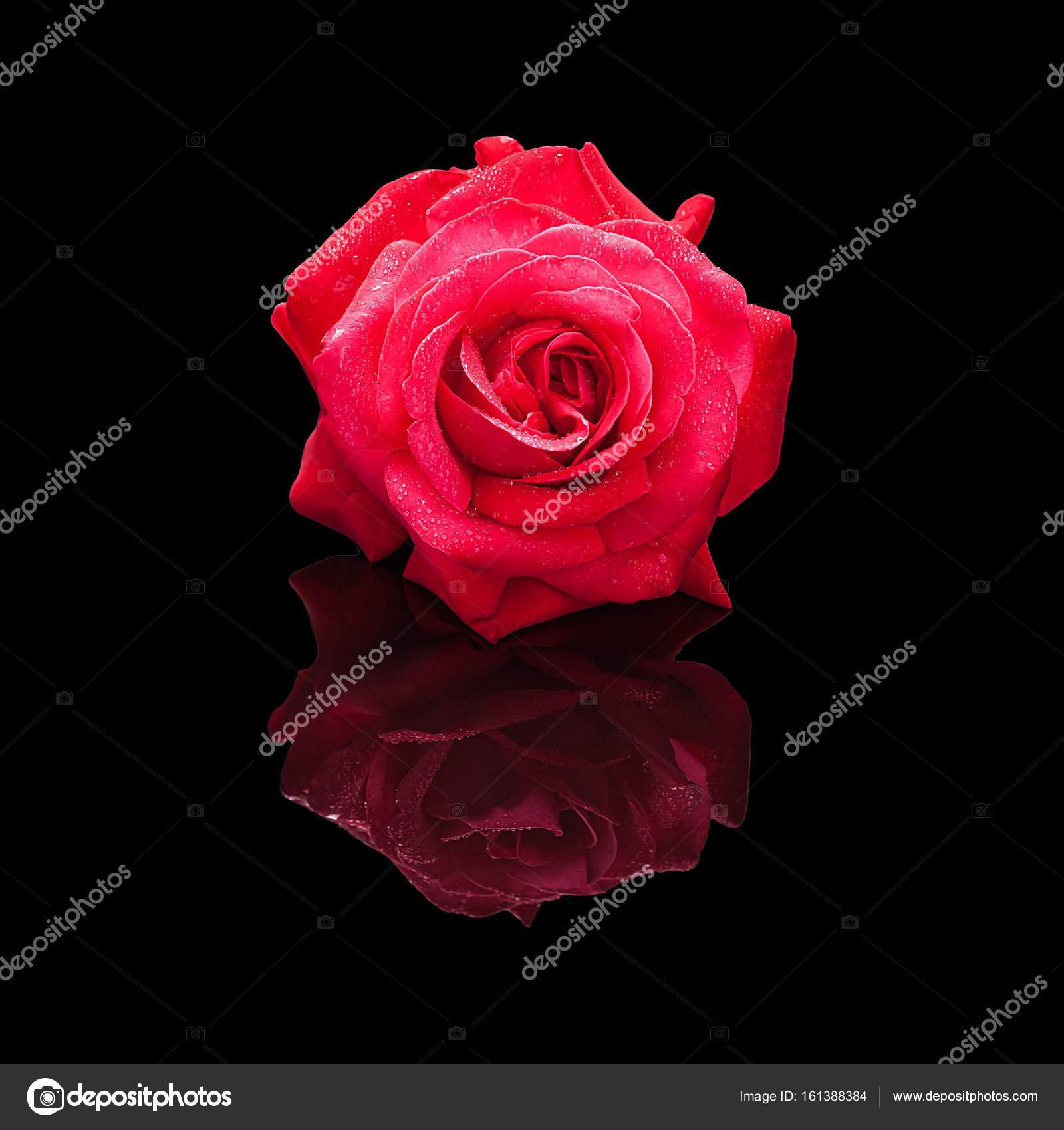 Fleur Rose Rouge Avec De L Eau Tombe Isolee Sur Noir Photographie