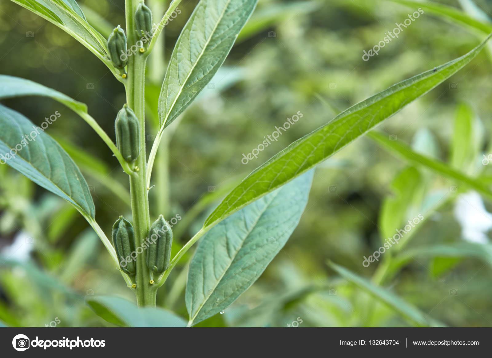 Gemeinsame Sesam-Pflanzen mit Blüte — Stockfoto © pongans68@gmail.com #132643704 @YX_86