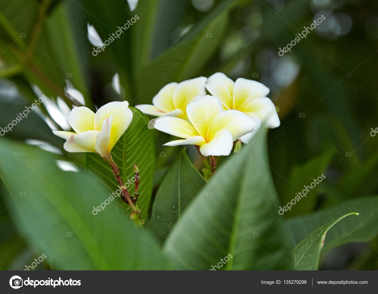 White And Yellow Plumeria Stock Photo Pongans68gmail 135279298