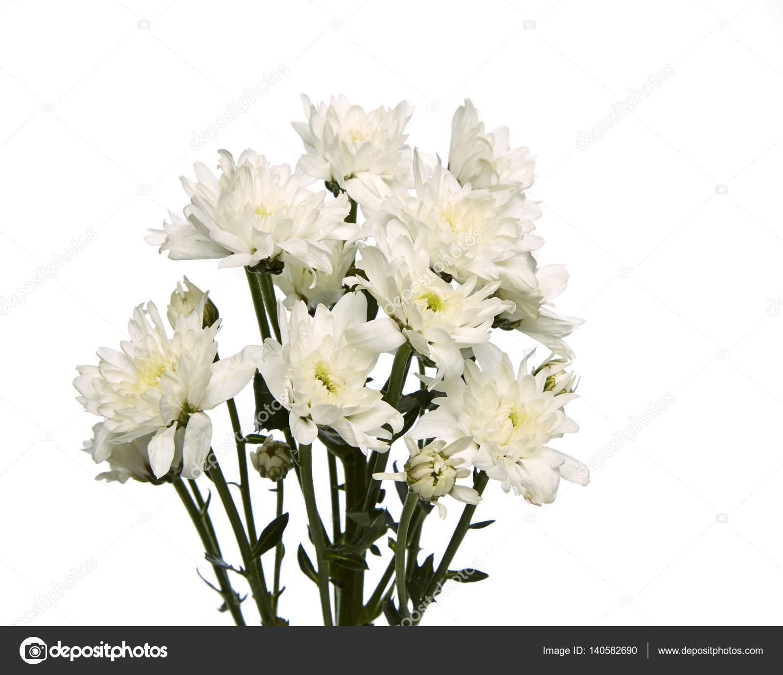 White Chrysanthemum Flower Stock Photo Pongans68gmail