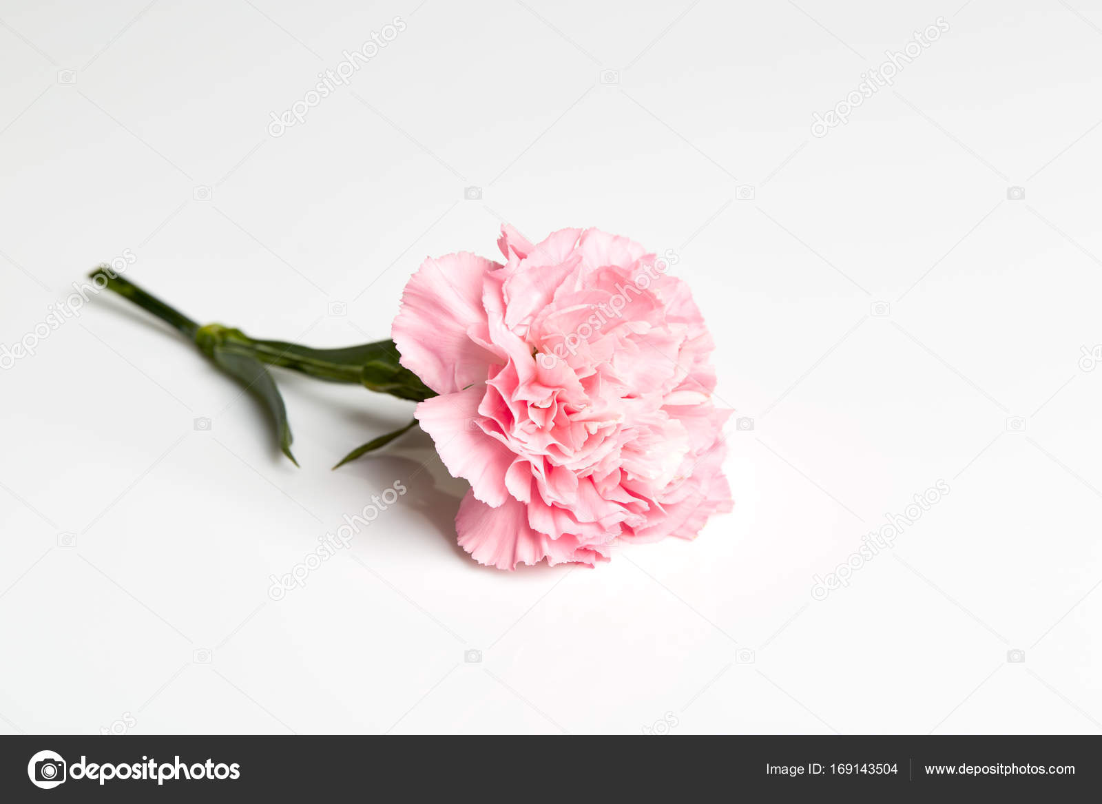 Pink Carnation Flower On White Stock Photo Pongans68gmail