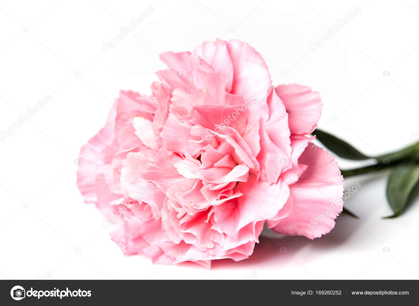 Pink Carnation Flower Isolated On White Stock Photo Pongans68