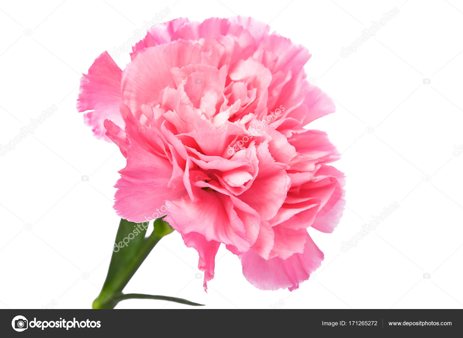 Single Pink Carnation Standing Erect White Background Stock Photo