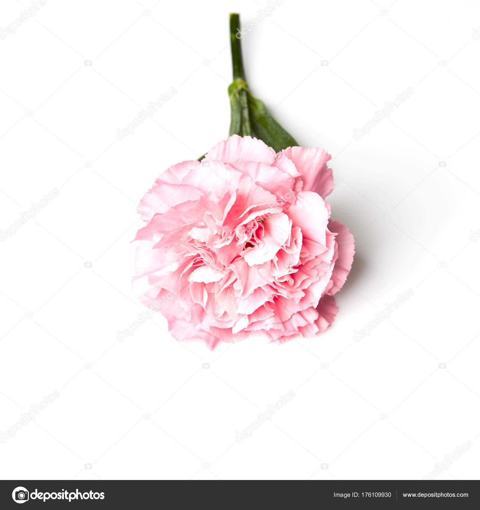Pink Carnation Flower Isolated White Background Stock Photo
