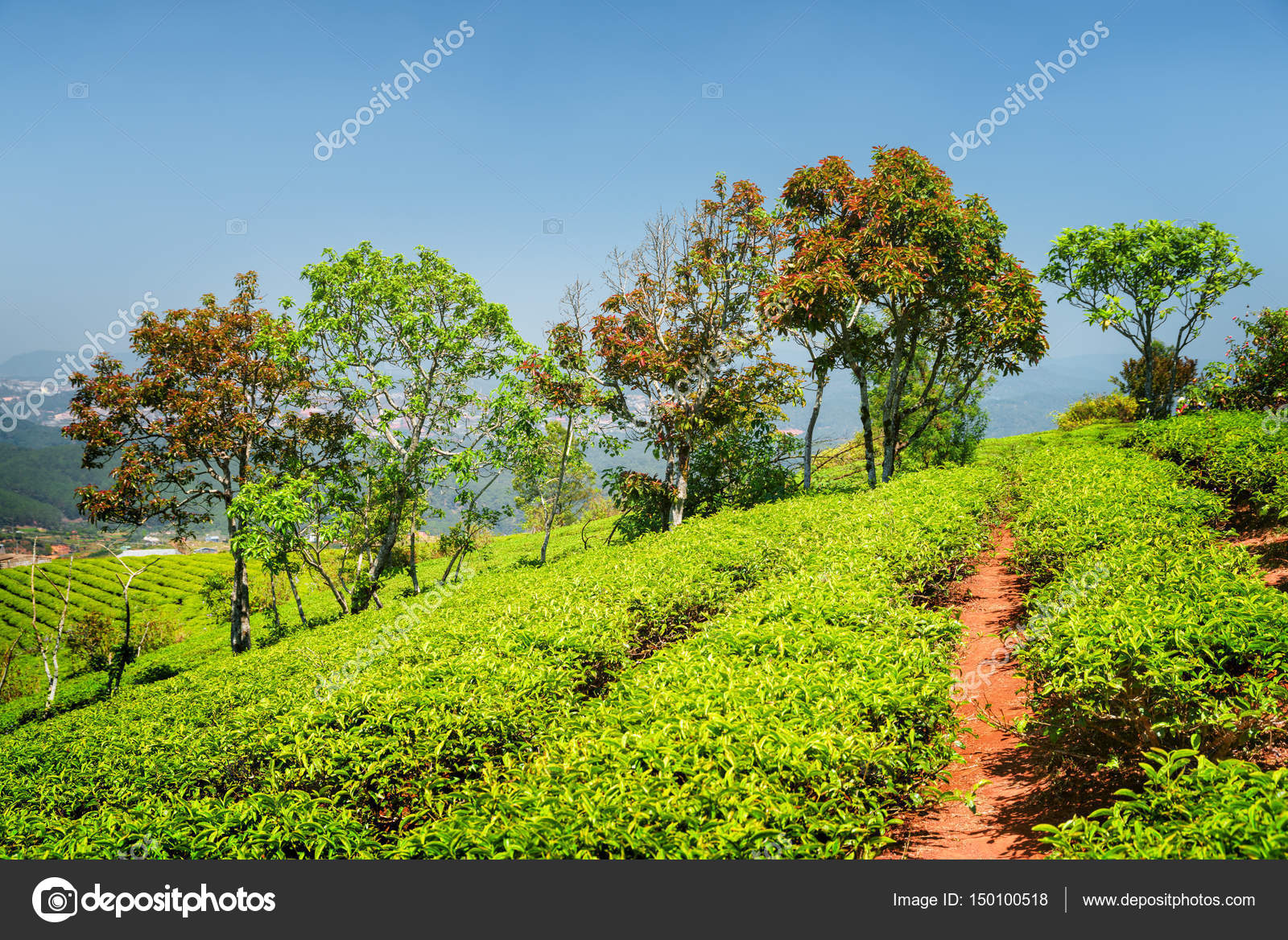Colorful trees and amazing rows of bright green tea bushes — Stock ...
