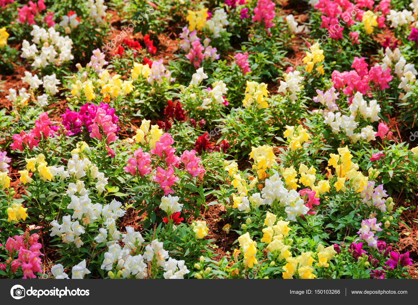 Beautiful Colorful Snapdragon Flowers Antirrhinum In Garden