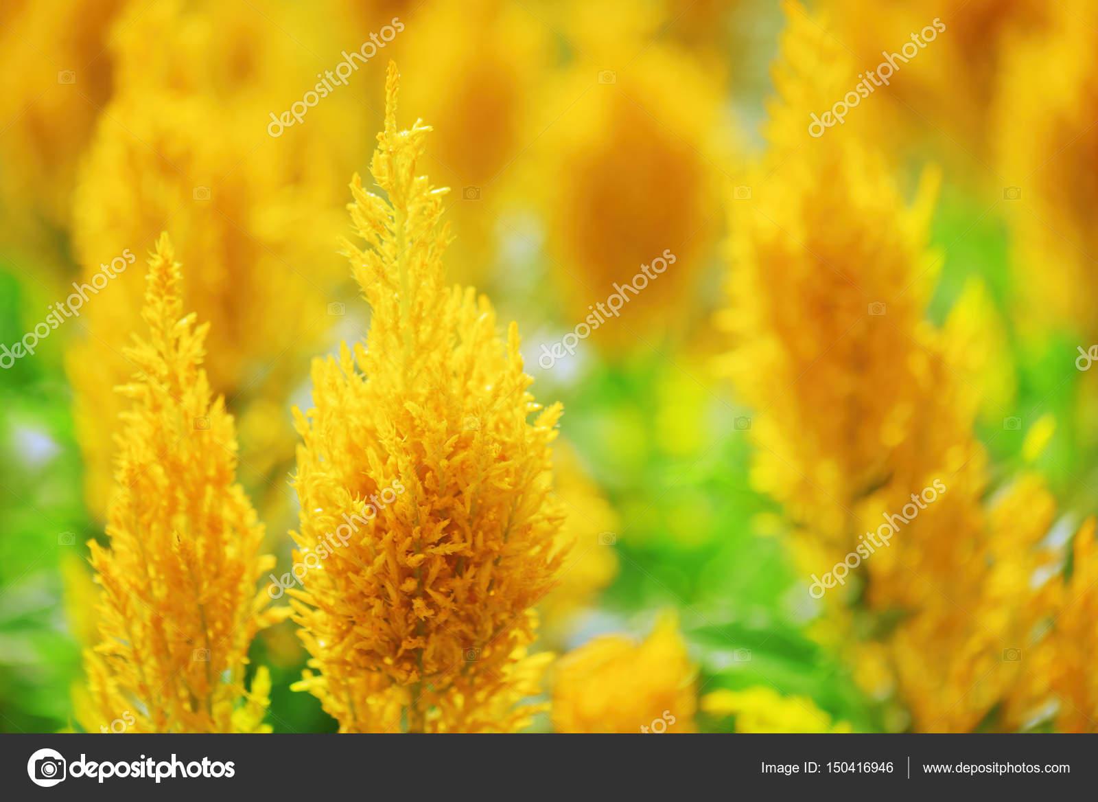 Beautiful bright yellow flowers on nature background stock photo beautiful bright yellow flowers on nature background stock photo mightylinksfo