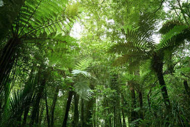 Tree ferns in jungle