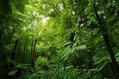 Fotografie Stromové kapradiny v džungli