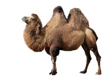 Bactrian camel on white