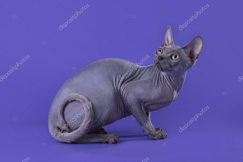 Plešatý kočička pic