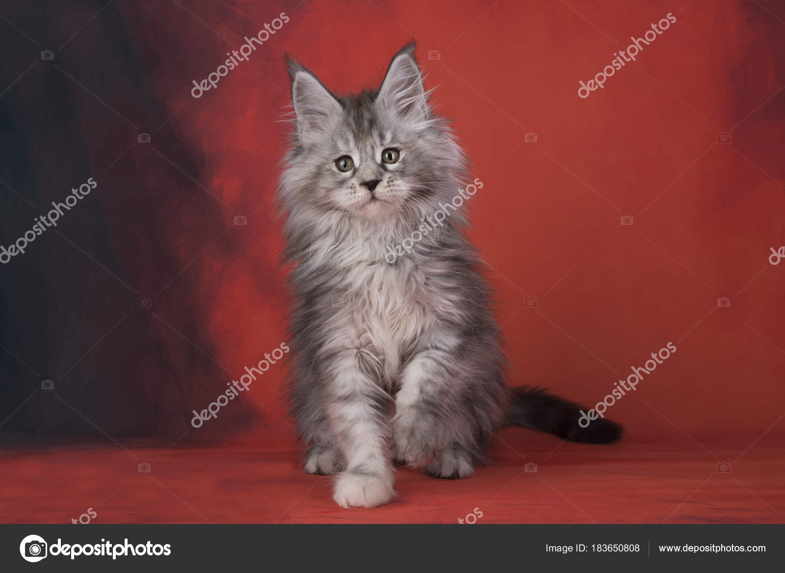 Maine Coon on a red isolated background