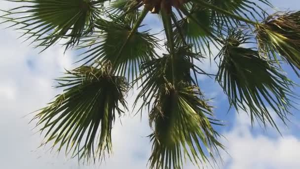 Tropical Arecaceae Palmae plant branches against blue sky video - Palm tree long leaves and crown on the wind close-up  footage