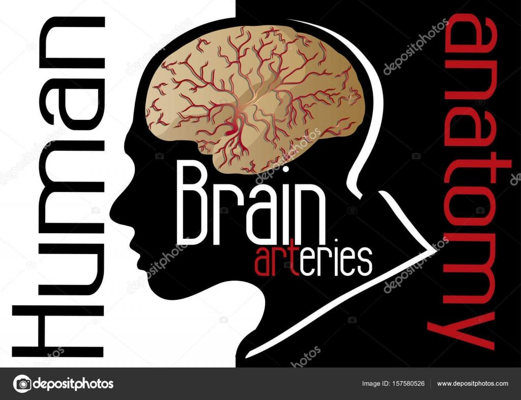 Anatomie des menschlichen Gehirns Arterien — Stockvektor © vonDuck ...