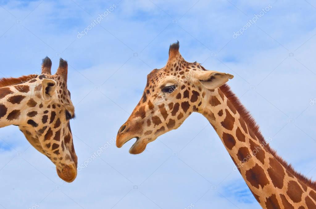giraffes against the blue sky