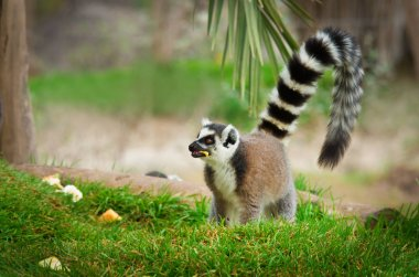 lemur in the grass (Lemur catta)