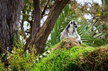 lemur in the grass(Lemur catta)