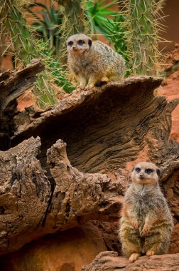Meerkat animals(Suricata suricatta) in zoo