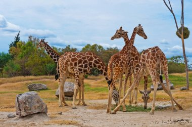 giraffes in the zoo of Puebla