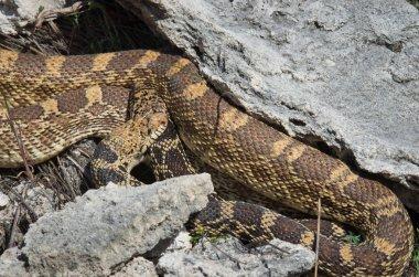 Mating of bullsnake in park