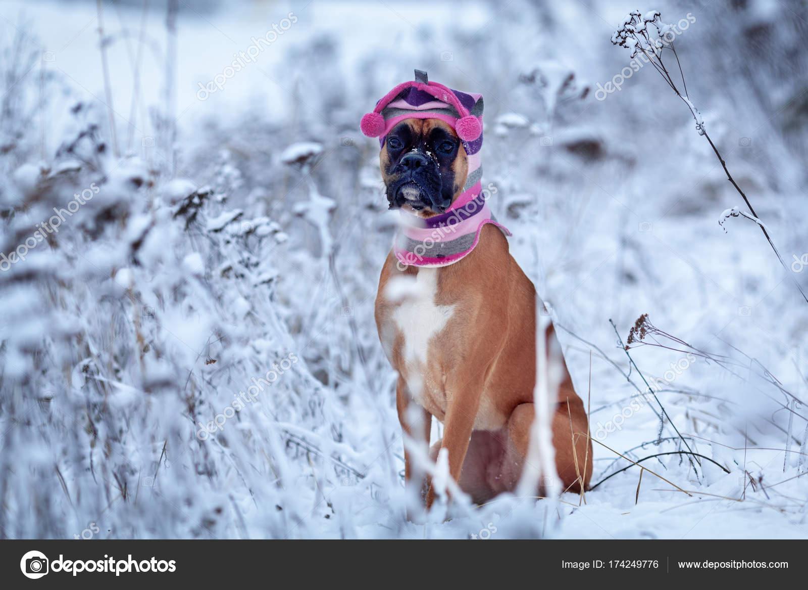 Ritratto del cane in cappello su sfondo di alberi. Boxer tedesco a piedi  nella foresta di inverno — Foto di rimdream c0e9212388bf