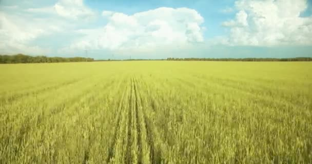 UHD 4K aerial view. Low flight over green and yellow wheat rural field