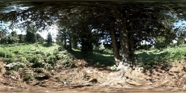UHD 4K 360 VR zöld hegyi erdő. Napsugarak és árnyékok, fű és fenyőfák.