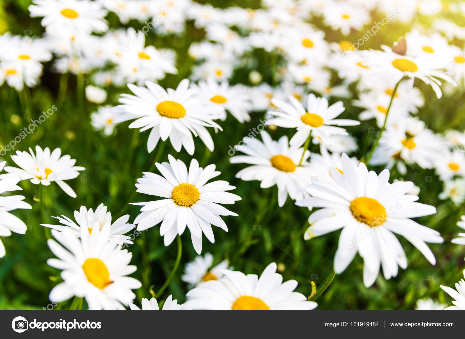 Meadow Of Daisy Flowers Stock Photo Ronstik 161919484