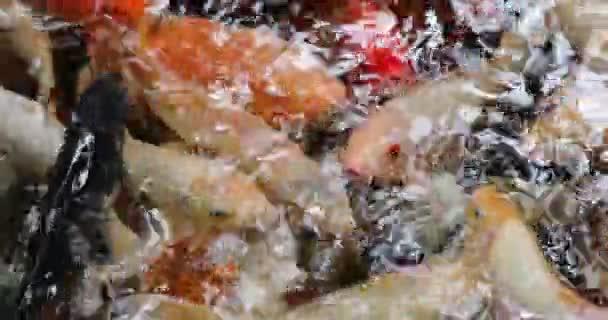 Koi Kapr ve vodě