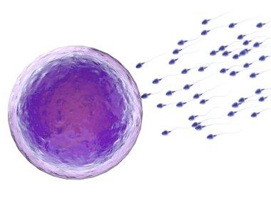 sperm with ovum