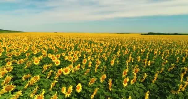 Drone moving across yellow field of sunflowers. Rows of sunflowers. Agricultural industry