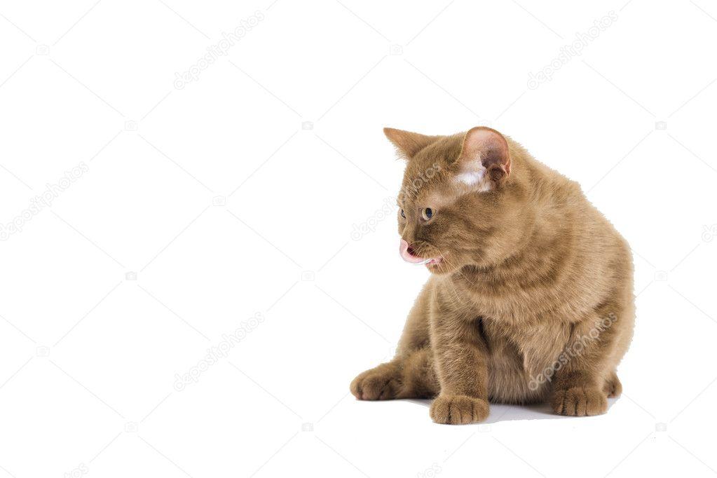 Color de gatito británico de canela — Fotos de Stock ...