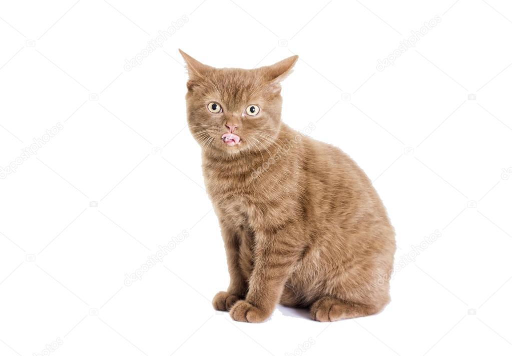 Color de gatito británico, canela — Foto de stock © gurinaleksandr ...