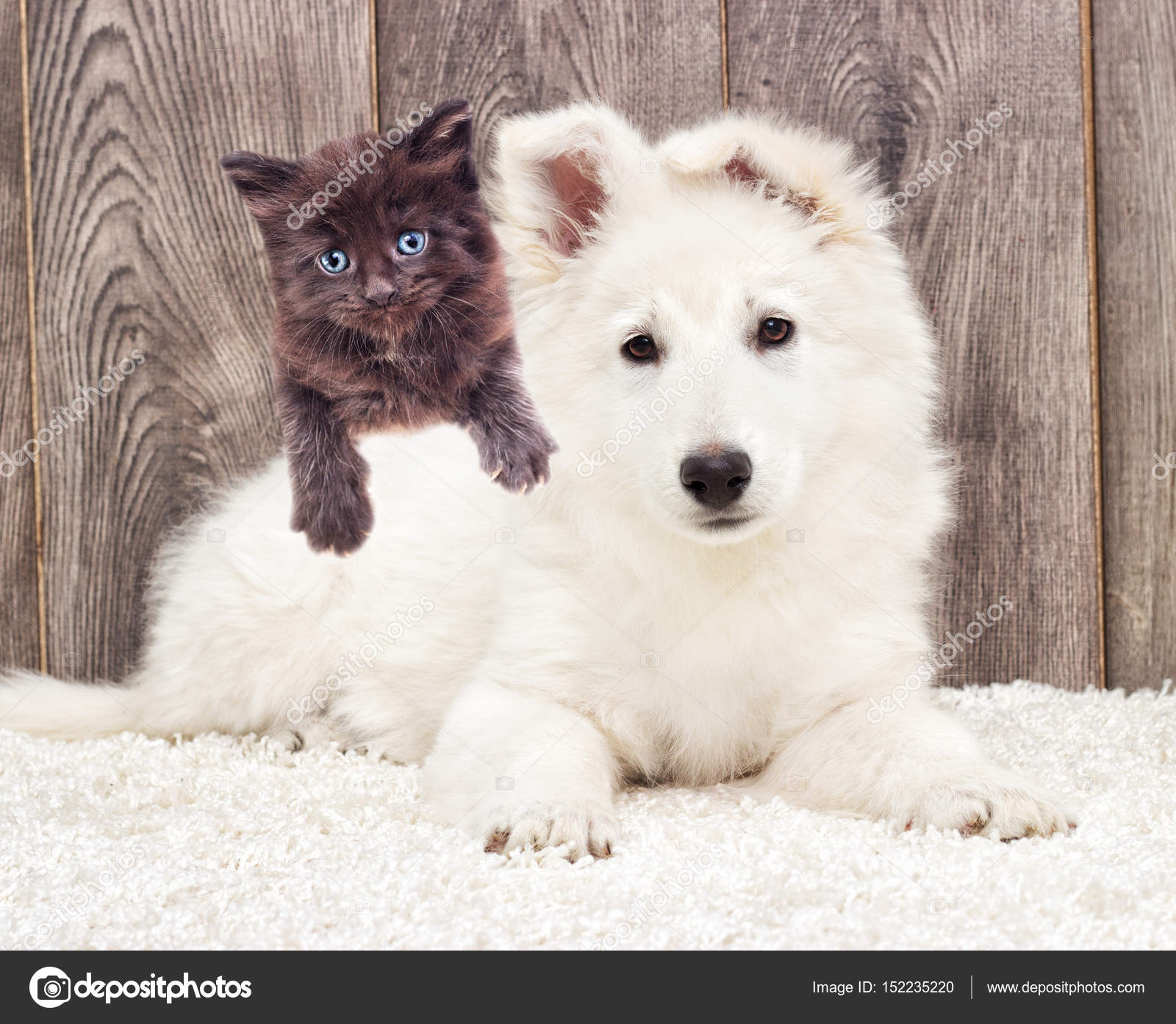 Berger Blanc Suisse Puppy And A Kitten Fluffy Carpet Stock Photo