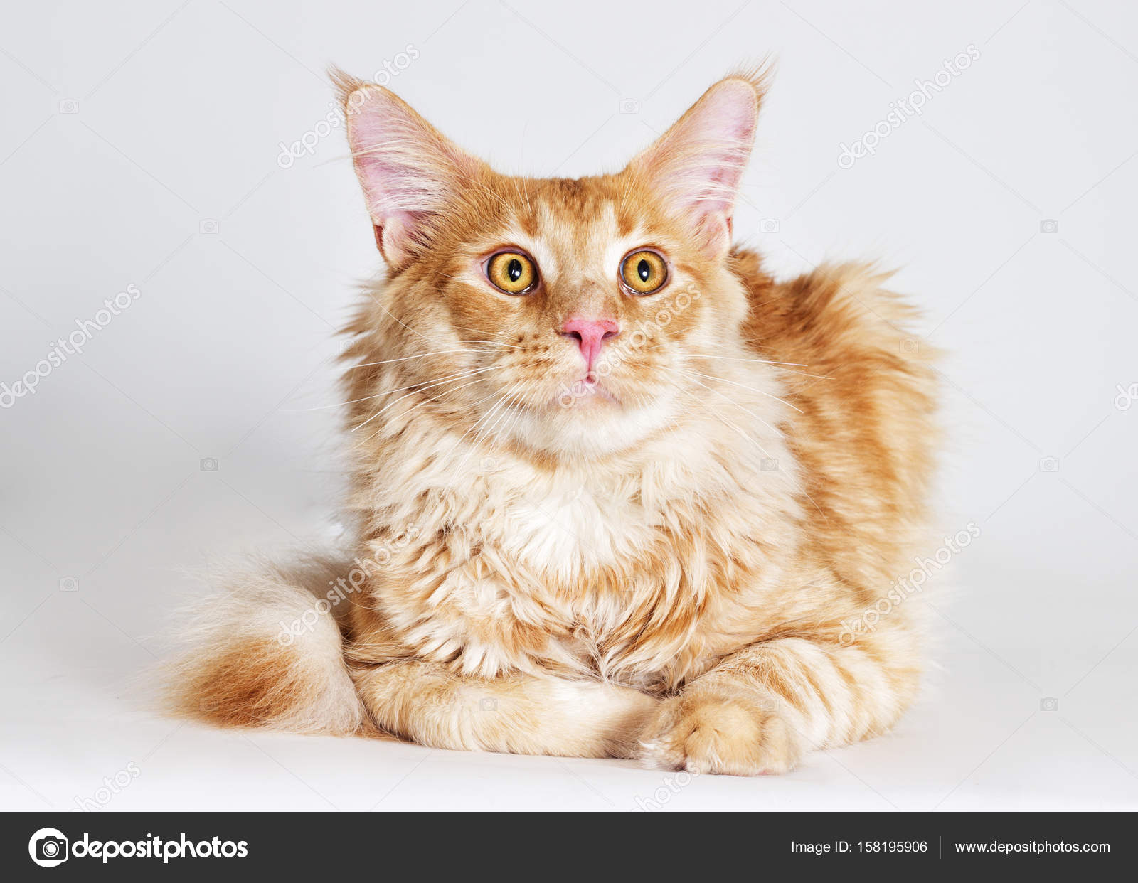 Rothaarige Gestreifte Katze Maine Coon Sieht Stockfoto