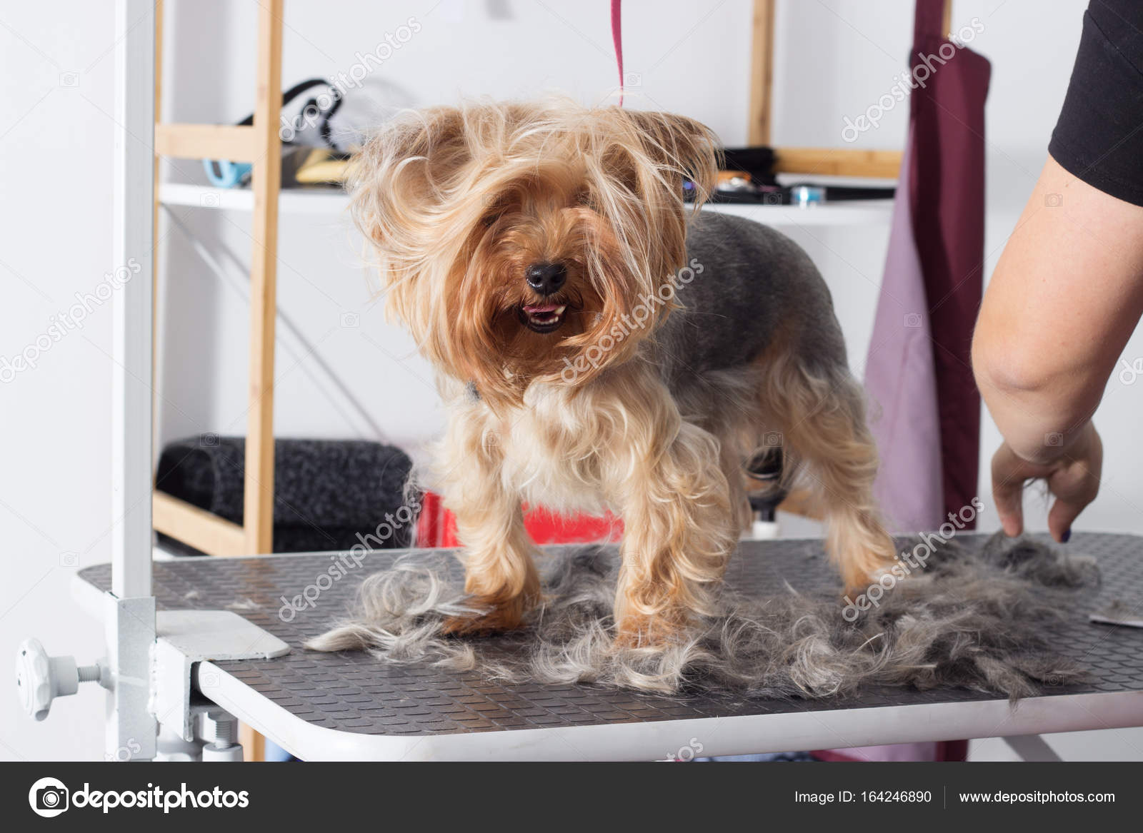 Yorkshire Terrier For Grooming Stock Photo C Gurinaleksandr 164246890