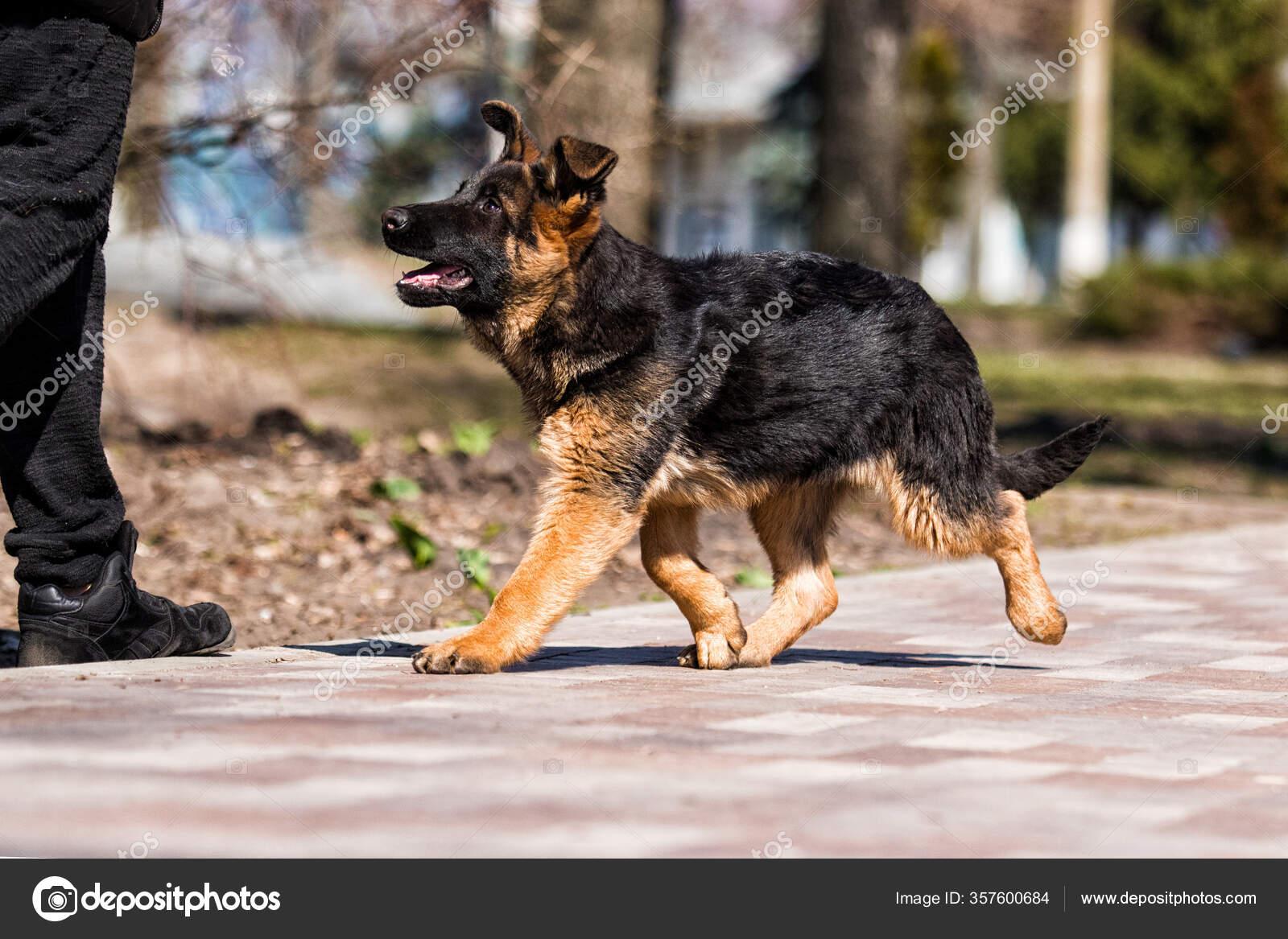German Shepherd Puppy Training Dog Trainer Instructor Stock Photo C Gurinaleksandr 357600684