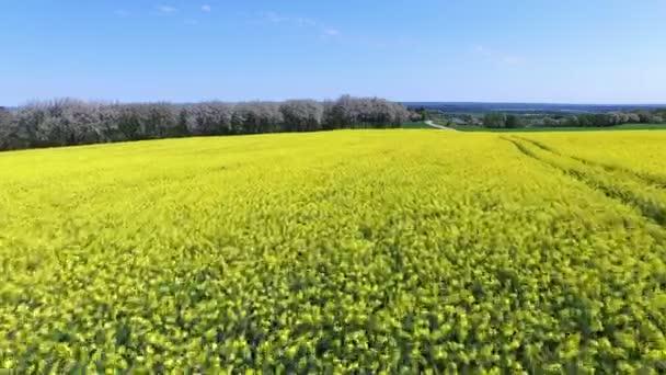 Žlutou řepkové pole na jaře