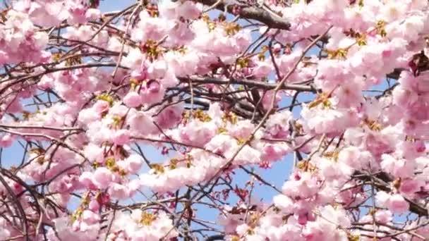 Kvetoucí třešeň kvetoucí na jaře