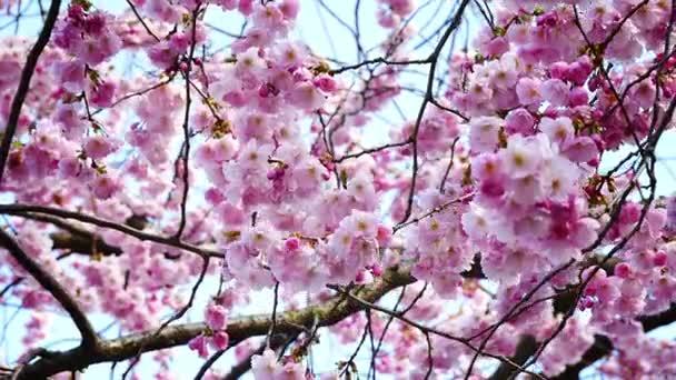 flowering cherry blossom in spring