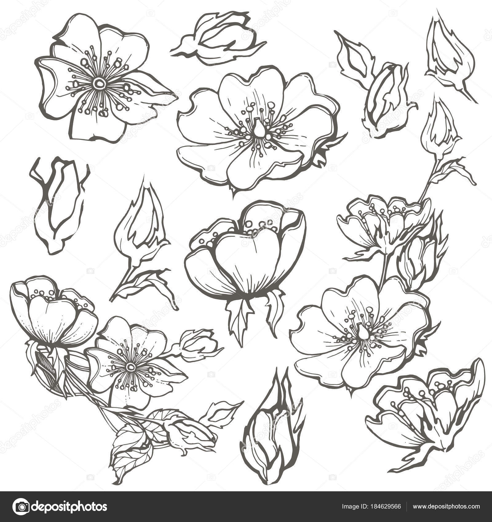 Wild dog rose set flowers contour ink adult coloring page with buds ...