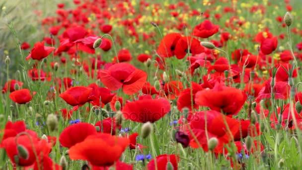 Pole kvetoucí červené vlčí máky
