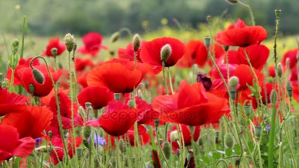A virágzó piros Pipacsok területén