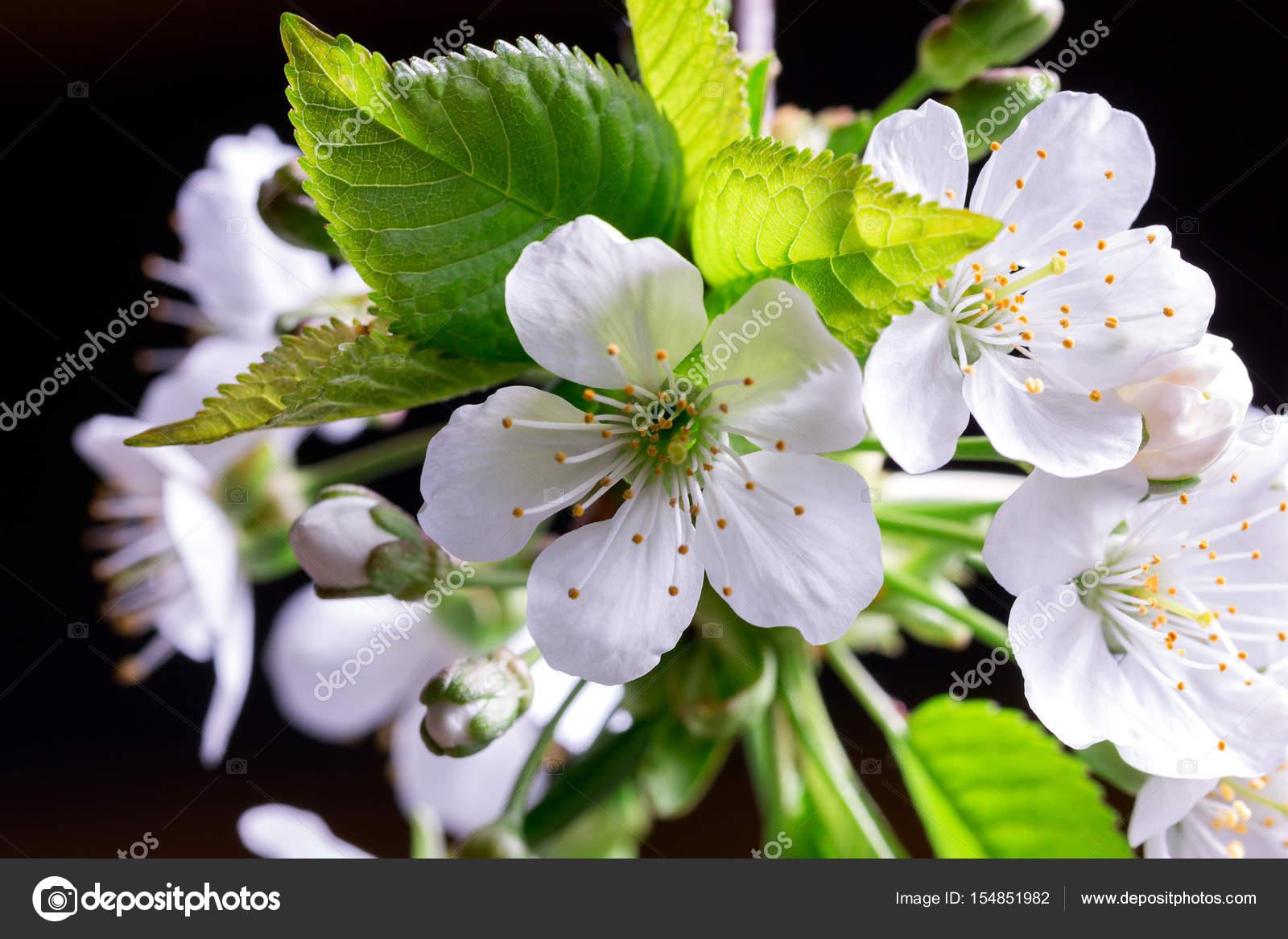Fleur De Cerisier Blanc Photographie Angelika 154851982