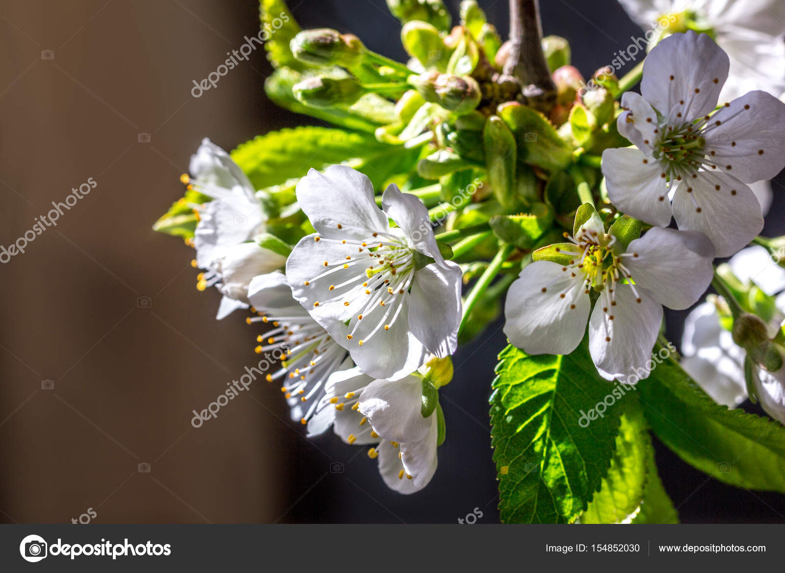 Fleur De Cerisier Blanc Photographie Angelika 154852030