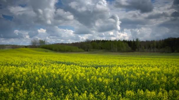 Zpomalené panorama obdělávaného žlutého rapového pole v severním Polsku
