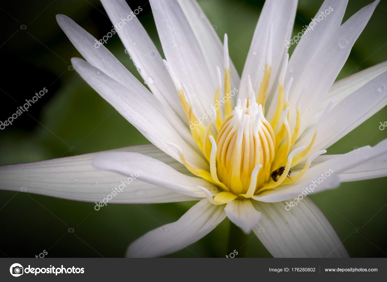 White lotus blossoms or water lily flowers stock photo bigjom white lotus blossoms or water lily flowers stock photo izmirmasajfo