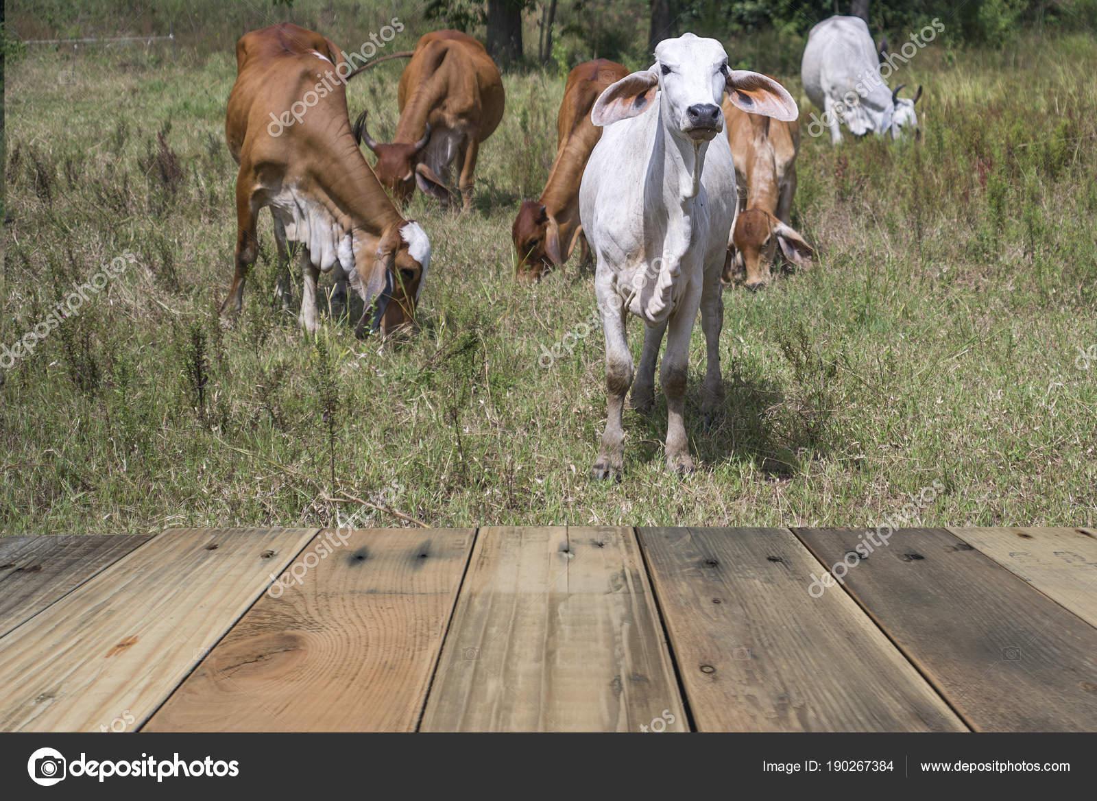 Terraza Madera Con Vaca Blanca Estaba Parada Campo Con Gente
