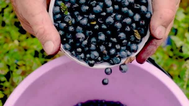 Blueberries in a bucket. Collection of berries of ripe juicy fruits. Healthy organic food.