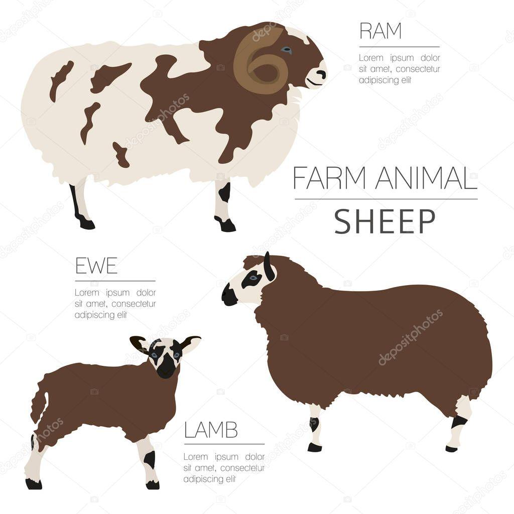 Plantilla de infografía cría ovejas. Carnero, oveja, cordero familia ...